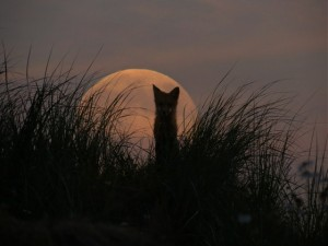 The Fox and the Moon Photo credit  © 2013 Tamara Fraser