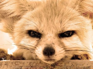 Angry Fennec Fox Photo © Genius Beauty